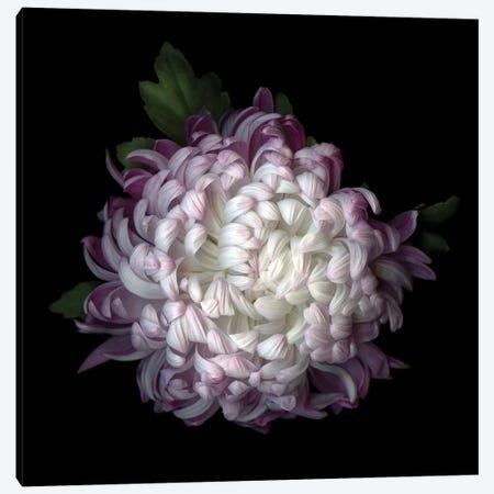 Mum Purple II 3-Piece Canvas #MAG269} by Magda Indigo Canvas Art