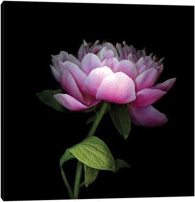Peony Chinese XII Canvas Art Print