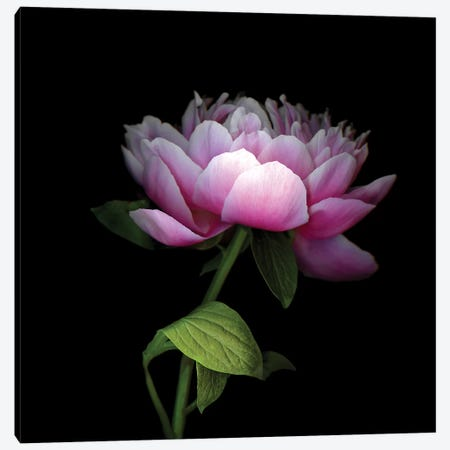 Peony Chinese XII Canvas Print #MAG283} by Magda Indigo Canvas Wall Art