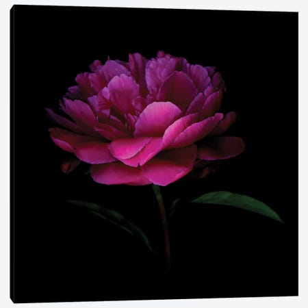 Peony Dark VI Canvas Print #MAG286} by Magda Indigo Art Print