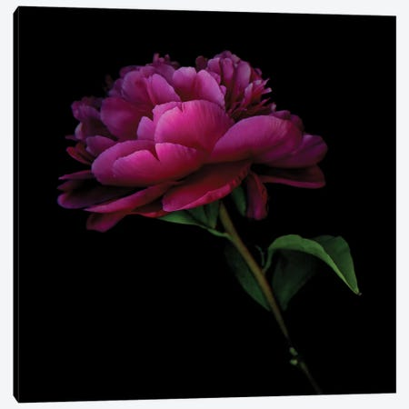 Peony Dark VIII Canvas Print #MAG287} by Magda Indigo Canvas Art Print