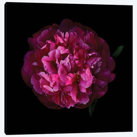 Peony Dark IX Canvas Print #MAG288} by Magda Indigo Canvas Artwork
