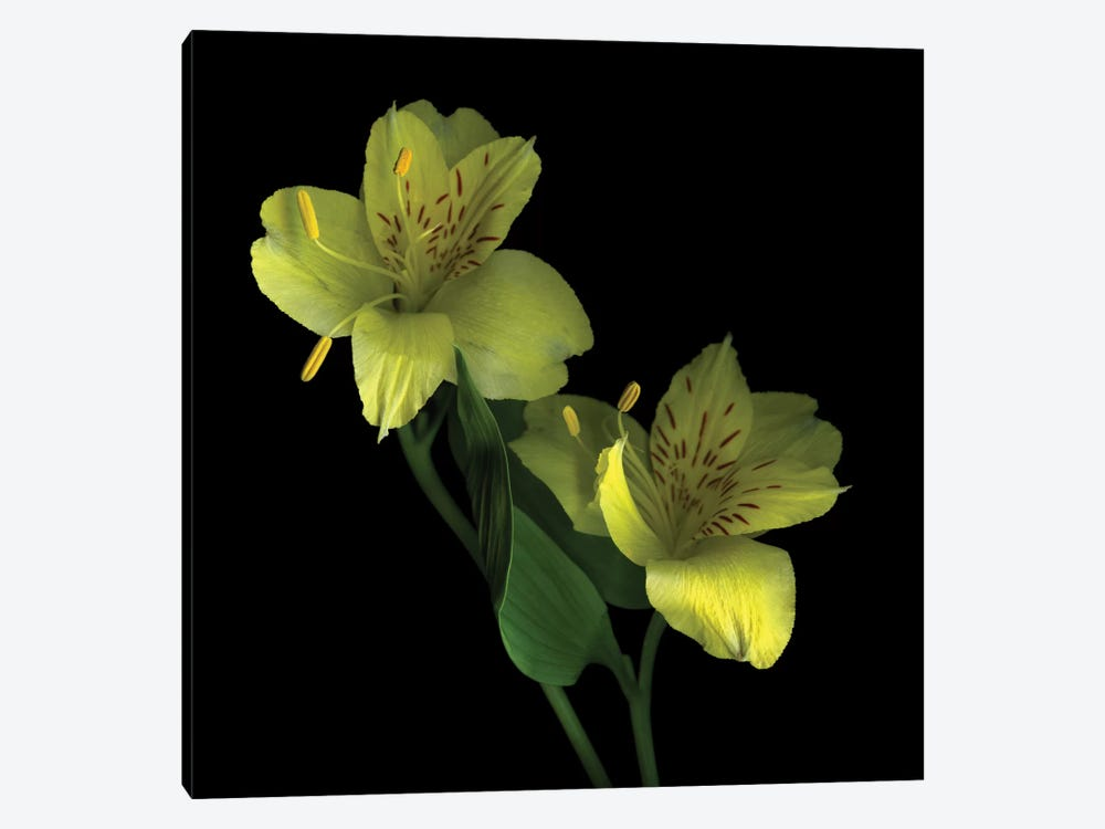 Elegance In Yellow 1-piece Canvas Wall Art