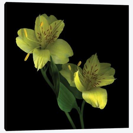 Elegance In Yellow Canvas Print #MAG28} by Magda Indigo Canvas Wall Art