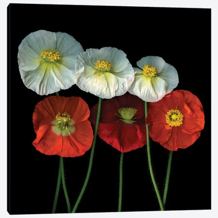 Poppy XXV Canvas Print #MAG292} by Magda Indigo Canvas Art Print