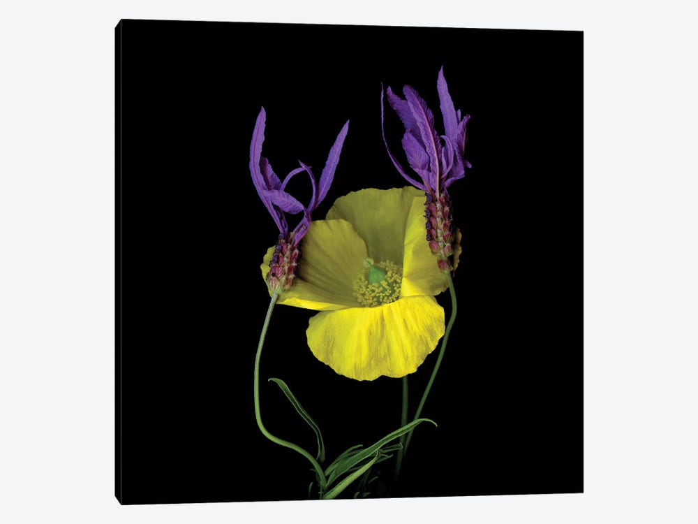 Poppy Yellow XVII by Magda Indigo 1-piece Canvas Wall Art