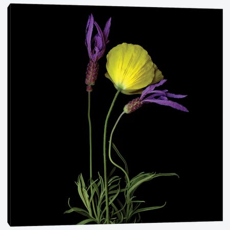 Poppy Yellow XVIII Canvas Print #MAG297} by Magda Indigo Canvas Wall Art