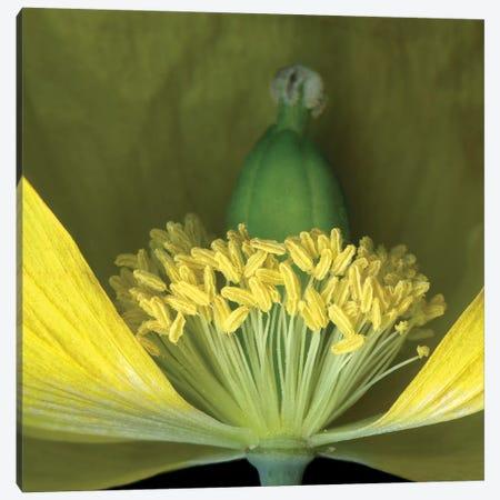 Poppy Yellow IX Canvas Print #MAG298} by Magda Indigo Canvas Art Print