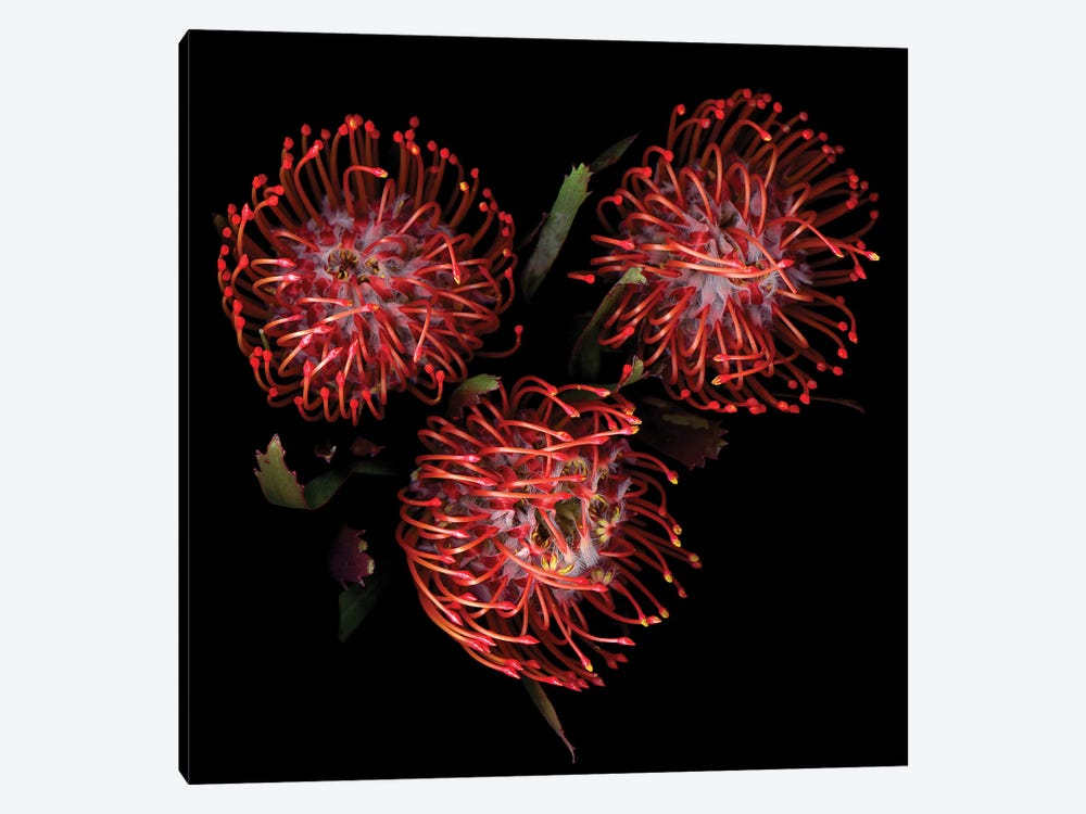 Protea II by Magda Indigo 1-piece Canvas Wall Art