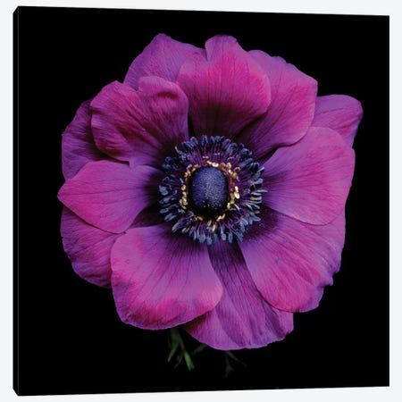 Purple Anemones Heart V Canvas Print #MAG304} by Magda Indigo Canvas Art