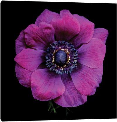 Purple Anemones Heart V Canvas Art Print