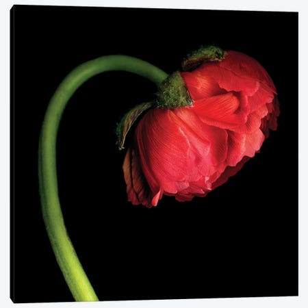 Ranunculus XLVI 3-Piece Canvas #MAG306} by Magda Indigo Canvas Artwork