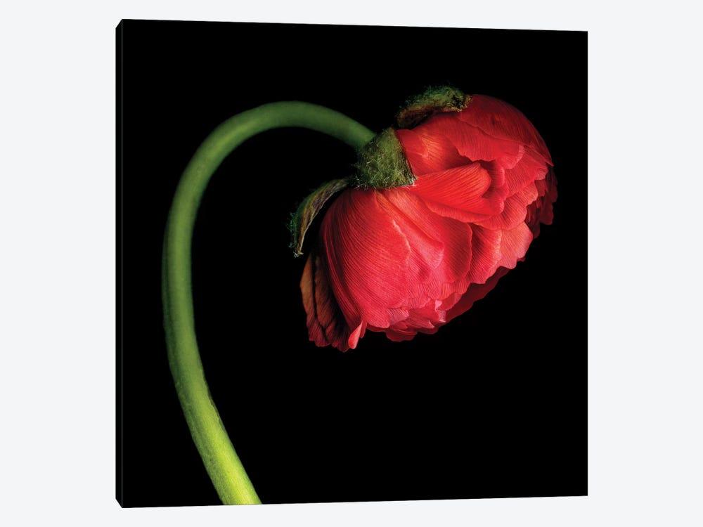 Ranunculus XLVI by Magda Indigo 1-piece Canvas Art