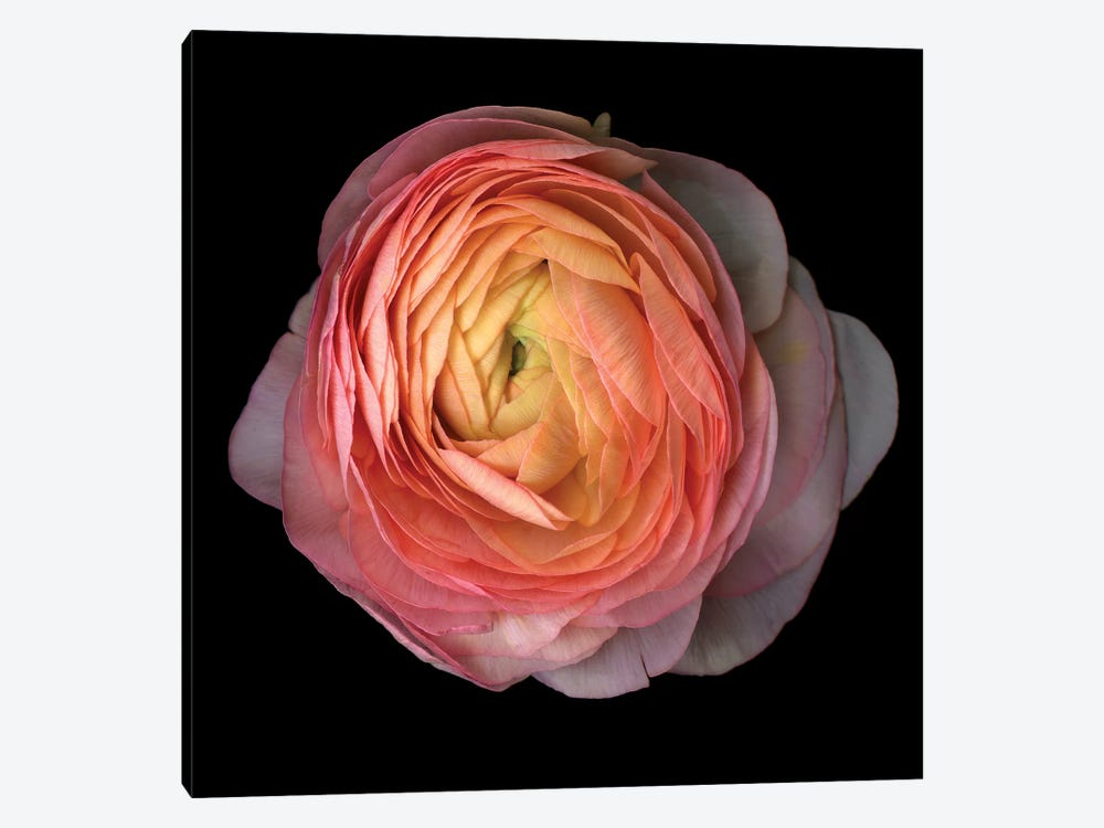 Ranunculus V by Magda Indigo 1-piece Canvas Print