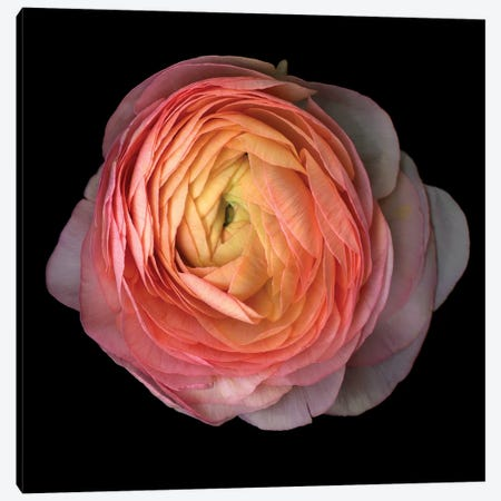 Ranunculus V Canvas Print #MAG307} by Magda Indigo Canvas Wall Art
