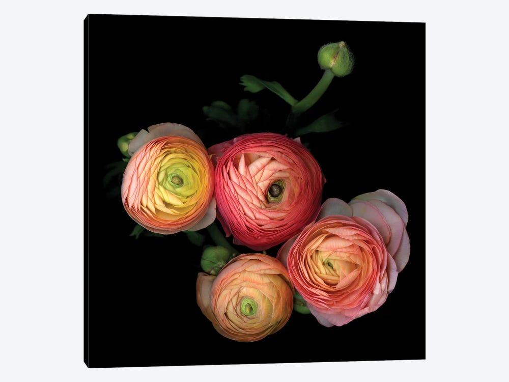 Ranunculus VIII by Magda Indigo 1-piece Canvas Art Print