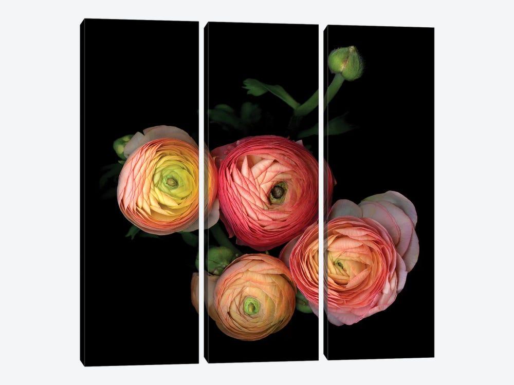 Ranunculus VIII by Magda Indigo 3-piece Canvas Art Print
