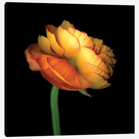 Ranunculus Orange 3-Piece Canvas #MAG310} by Magda Indigo Canvas Wall Art