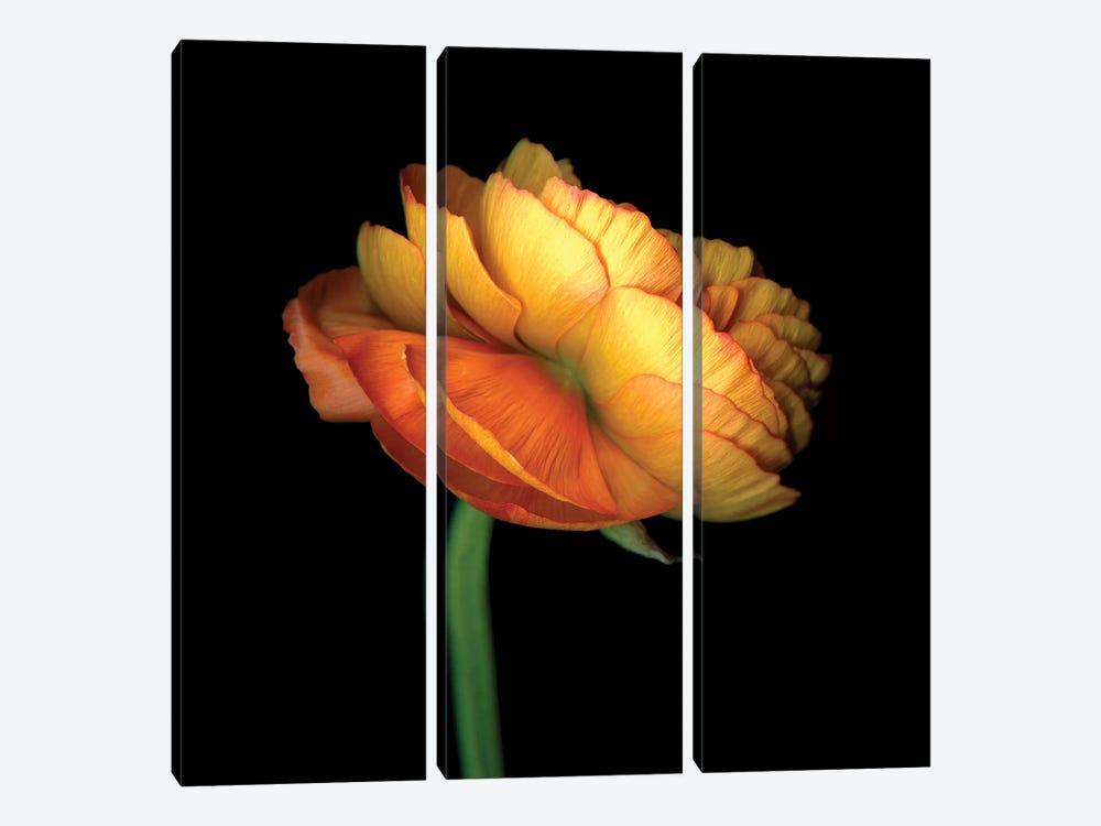 Ranunculus Orange by Magda Indigo 3-piece Canvas Art Print