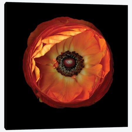 Ranunculus Orange XI Canvas Print #MAG311} by Magda Indigo Canvas Artwork