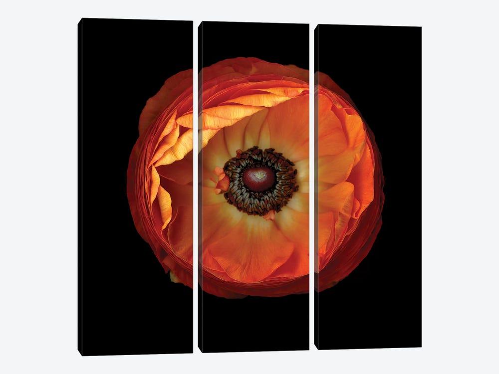Ranunculus Orange XI by Magda Indigo 3-piece Canvas Artwork