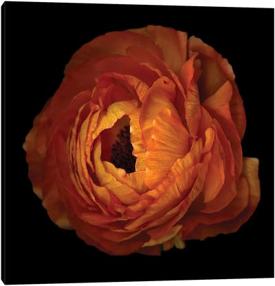Ranunculus Orange XV Canvas Art Print
