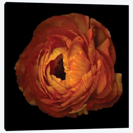 Ranunculus Orange XV 3-Piece Canvas #MAG312} by Magda Indigo Canvas Artwork