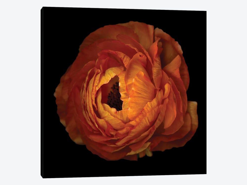 Ranunculus Orange XV by Magda Indigo 1-piece Canvas Art Print