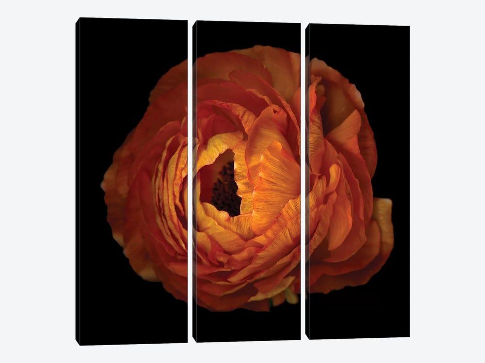Ranunculus Orange XV by Magda Indigo 3-piece Canvas Print