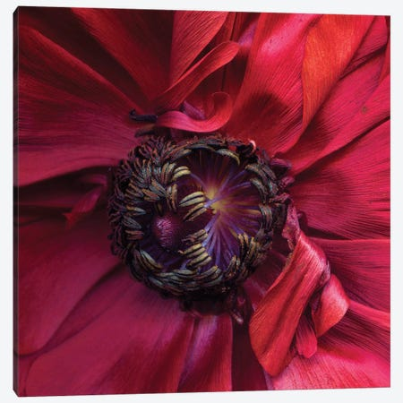 Ranunculus IV 3-Piece Canvas #MAG315} by Magda Indigo Canvas Art Print