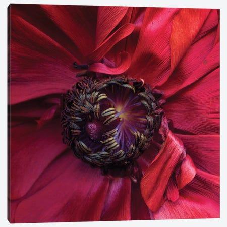 Ranunculus IV Canvas Print #MAG315} by Magda Indigo Canvas Art Print