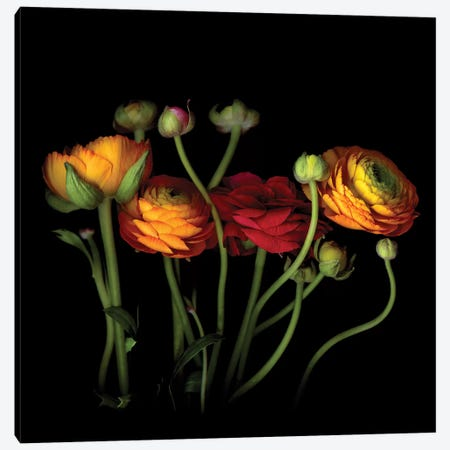 Ranunculus IV Canvas Print #MAG316} by Magda Indigo Canvas Print