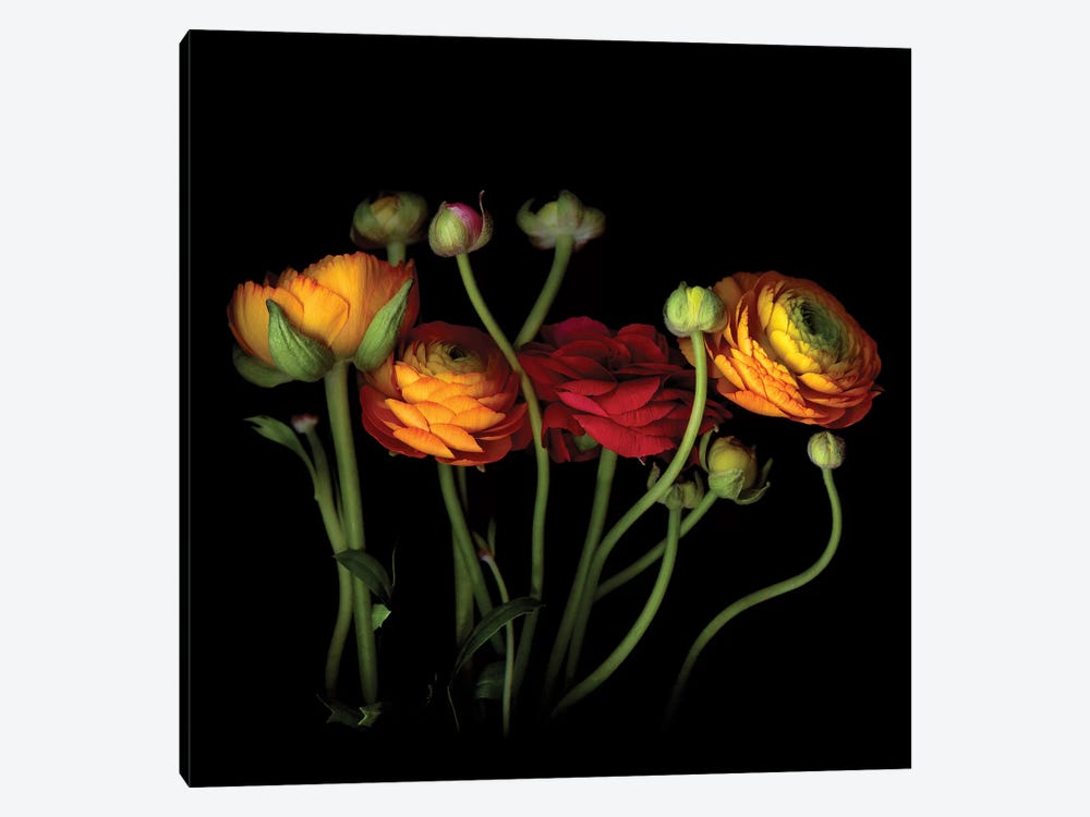 Ranunculus IV by Magda Indigo 1-piece Canvas Art Print
