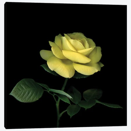 Rose Yellow I Canvas Print #MAG332} by Magda Indigo Canvas Art