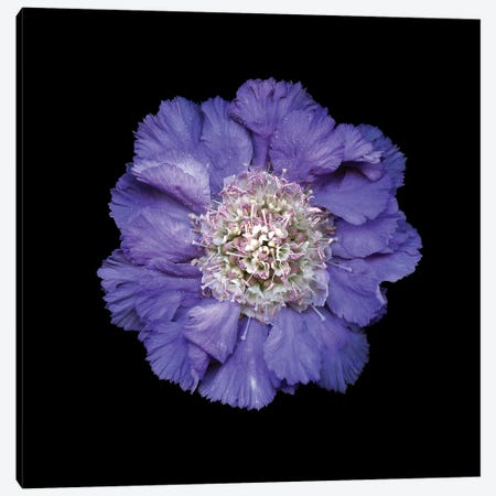 Scabiose I Canvas Print #MAG334} by Magda Indigo Canvas Art Print
