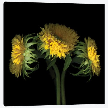 Sunflower VIII Canvas Print #MAG340} by Magda Indigo Canvas Art Print
