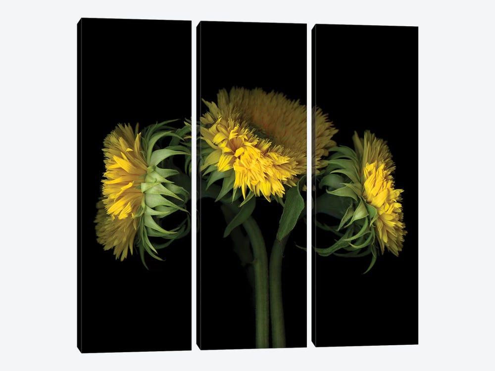 Sunflower VIII by Magda Indigo 3-piece Canvas Art