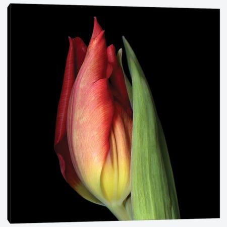 Tulip XXI Canvas Print #MAG343} by Magda Indigo Canvas Art Print