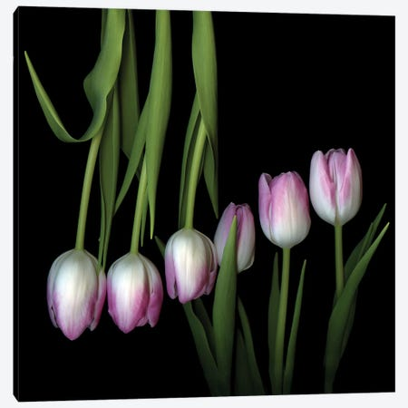 Tulip Fondant IV Canvas Print #MAG351} by Magda Indigo Canvas Art