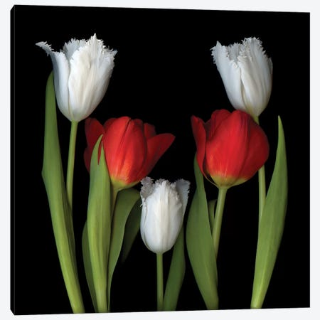 Tulip Frazzle VII Canvas Print #MAG352} by Magda Indigo Canvas Artwork