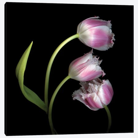 Tulip Frill X Canvas Print #MAG353} by Magda Indigo Canvas Artwork