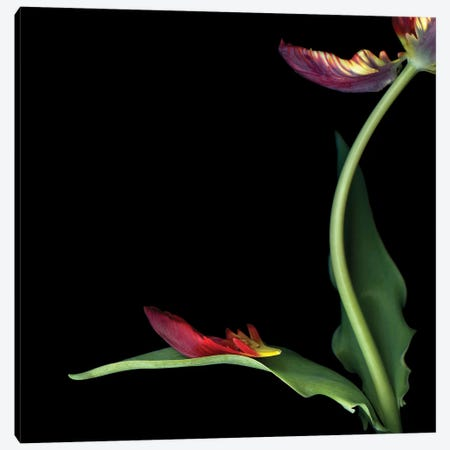 Tulip Parrot Red XIX Canvas Print #MAG356} by Magda Indigo Canvas Art Print