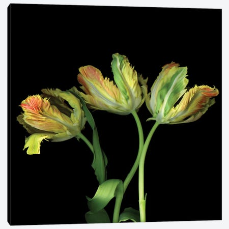 Tulip Parrot Yellow V Canvas Print #MAG359} by Magda Indigo Canvas Wall Art