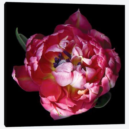 Tulips Double XII Canvas Print #MAG369} by Magda Indigo Canvas Art Print