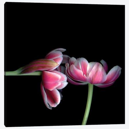 Tulips Pink XV Canvas Print #MAG377} by Magda Indigo Canvas Print