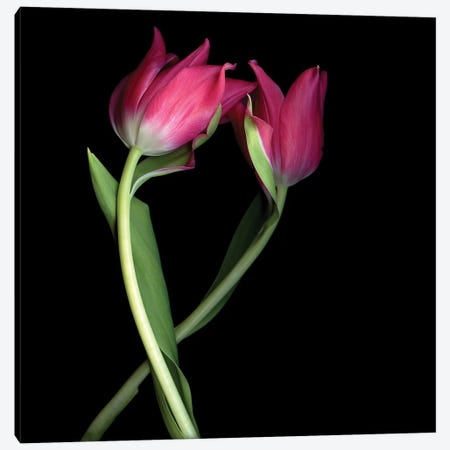 Tulips Pink I Canvas Print #MAG380} by Magda Indigo Canvas Print
