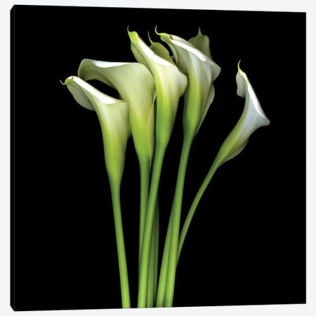 White Calla XIII Canvas Print #MAG381} by Magda Indigo Art Print