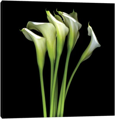 White Calla XIII Canvas Art Print