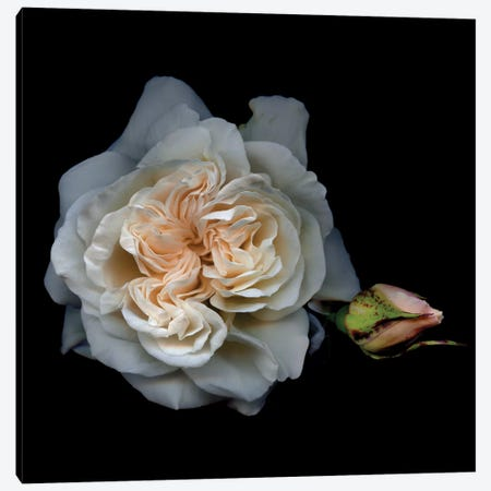 White Rose I Canvas Print #MAG382} by Magda Indigo Art Print