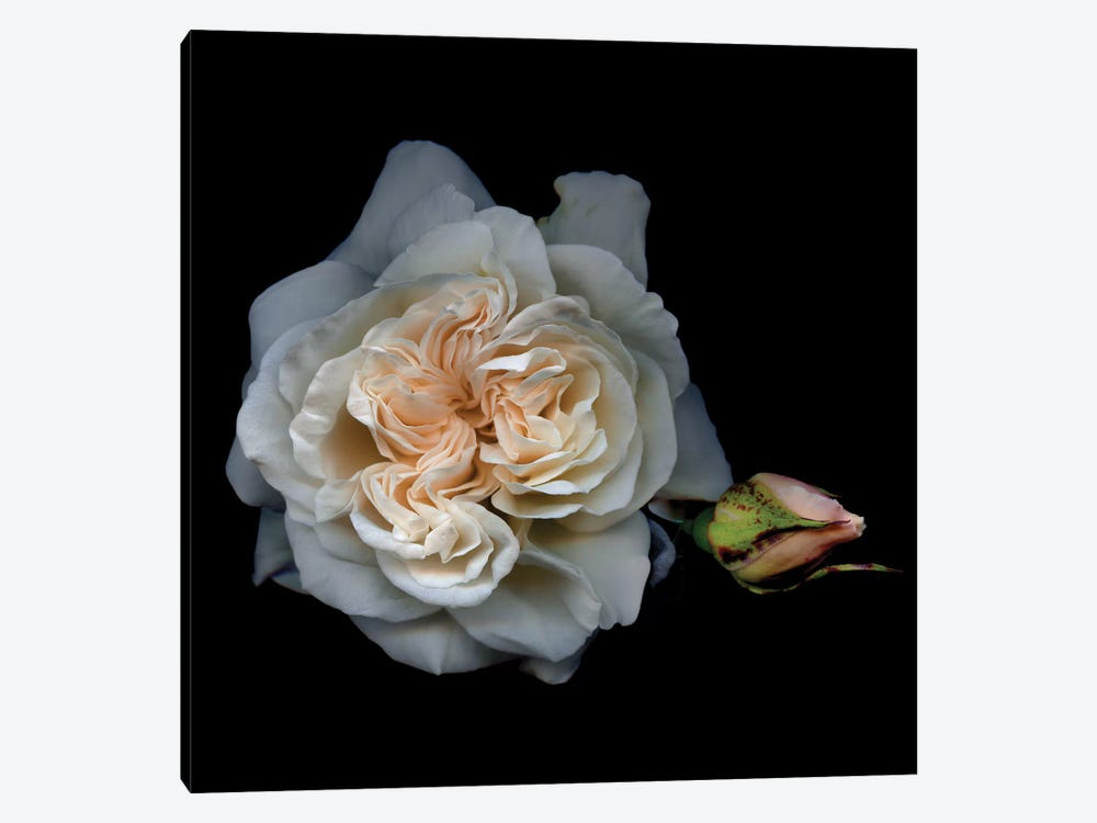 White Rose I by Magda Indigo 1-piece Canvas Wall Art